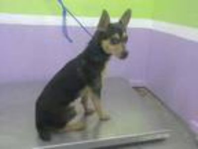 Adopt PASCKY a Black Rat Terrier / Mixed dog in Houston, TX (25594406)