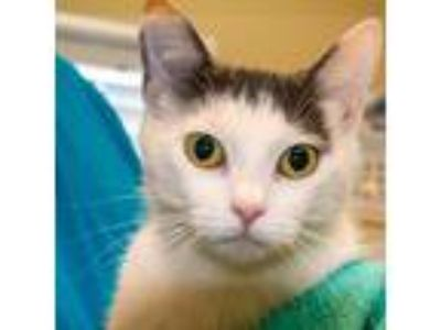 Adopt Detrice a Gray or Blue (Mostly) Domestic Shorthair / Mixed (short coat)