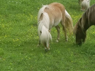 (3) Mini Horses For Sale