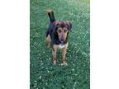 Adopt Milo a Brown/Chocolate - with Black Hound (Unknown Type) / Shepherd