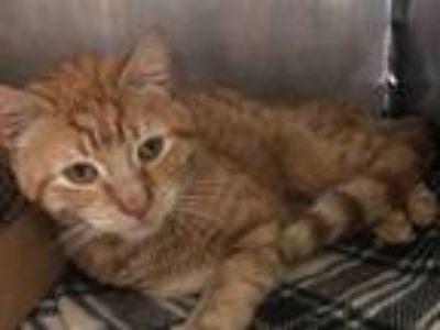 Adopt Garfield a Domestic Shorthair / Mixed cat in Brooklyn, NY (25585705)