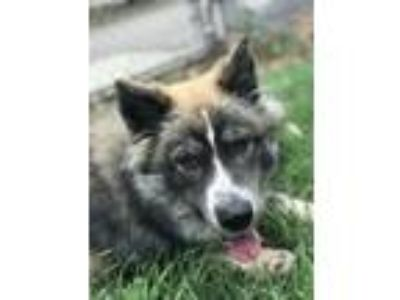 Adopt Rambo a German Shepherd Dog, Mixed Breed
