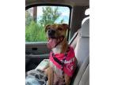 Adopt Ruthie a American Pit Bull Terrier / Mixed dog in Germantown