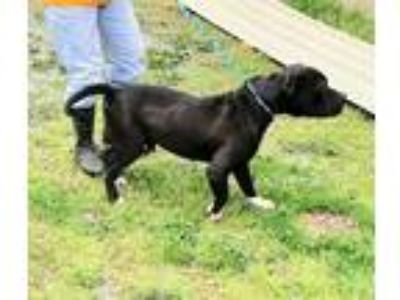Adopt Black a Black - with White American Staffordshire Terrier / American Pit