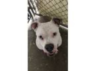 Adopt Crouton a Staffordshire Bull Terrier