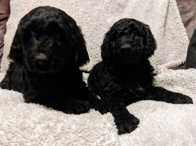 Goldendoodle PUPPY FOR SALE ADN-97761 - Adorable Goldendoodle Puppies