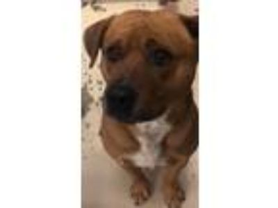 Adopt Scooby a Red/Golden/Orange/Chestnut Labrador Retriever / Boxer / Mixed dog