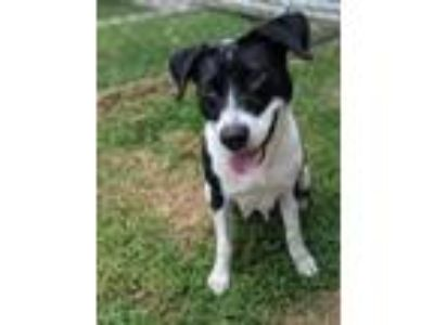 Adopt Mia a Border Collie, Mixed Breed
