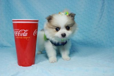 Tiny Teacup Pomeranian Puppies in Las Vegas!