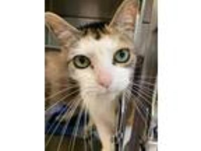 Adopt Kaylee a Domestic Shorthair / Mixed (short coat) cat in Vineland