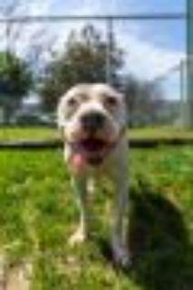 Leslie Pit Bull Terrier Dog