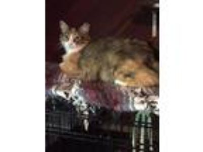 Adopt Donatella a Domestic Medium Hair