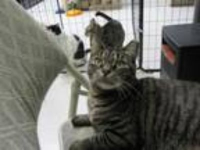 Adopt Baby Cat a Domestic Short Hair, Tabby