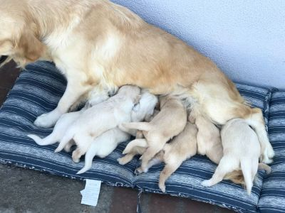 Akc golden retrievers