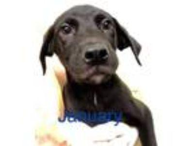 Adopt January a Labrador Retriever