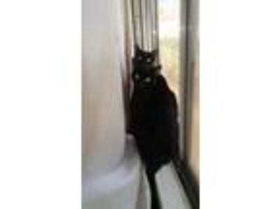 Adopt Nigel a All Black Domestic Shorthair / Mixed cat in Burbank, CA (24621580)