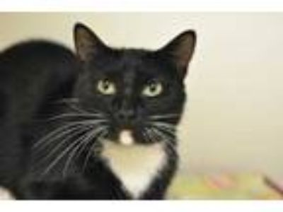Adopt Halsey a All Black Domestic Shorthair / Domestic Shorthair / Mixed cat in