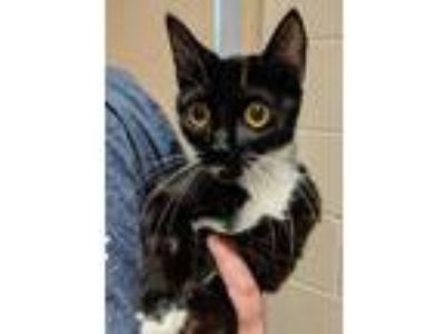 Adopt Whiskers a All Black Domestic Shorthair / Domestic Shorthair / Mixed cat