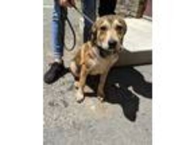 Adopt Wizard a Red/Golden/Orange/Chestnut Mixed Breed (Large) / Mixed dog in