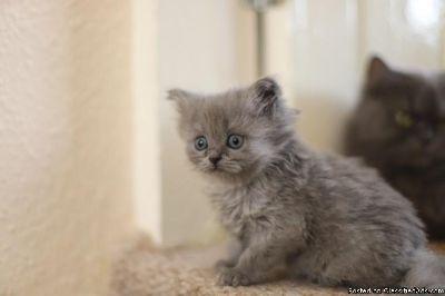 Stunning Straight Eared Scottish Fold Male Kitten