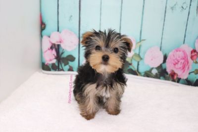 Yorkshire Terrier - Coco - Female
