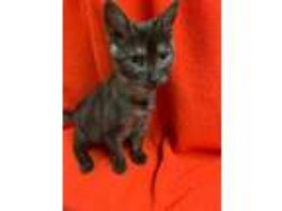Adopt Kitten 18317 a Domestic Medium Hair