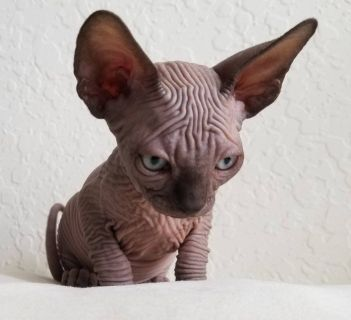 Canadian sphynx chocolate male, absolutely bald, wrinkles, champion blood line