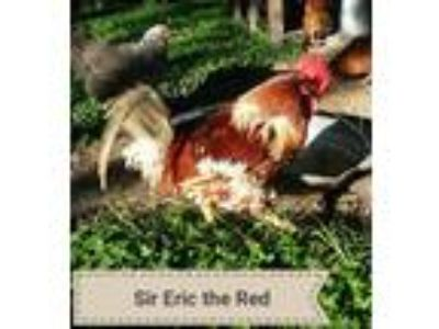 Adopt Sir Eric the Red a Chicken