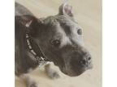 Adopt Wyatt a American Staffordshire Terrier, Pit Bull Terrier