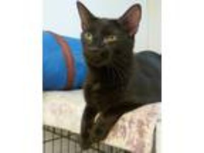 Adopt Riley a Domestic Short Hair