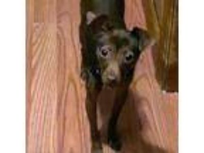 Adopt Lauryn a Brown/Chocolate Terrier (Unknown Type, Medium) dog in Northbrook