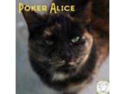 Adopt Poker Alice a Domestic Shorthair / Mixed (short coat) cat in Washburn