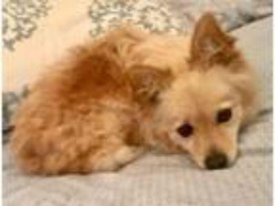 Adopt Ryder (Fun & Cute) a Pomeranian