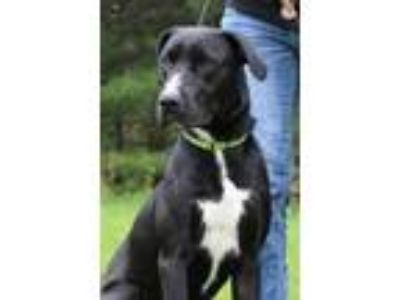 Adopt Dwayne a Black Labrador Retriever / Mixed dog in Portage, WI (25226916)