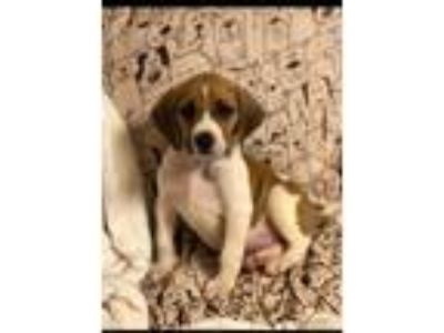Adopt Rosemary a Bluetick Coonhound / Hound (Unknown Type) / Mixed dog in Rocky