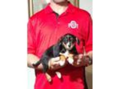 Adopt Andre a Tricolor (Tan/Brown & Black & White) King Charles Spaniel / Toy