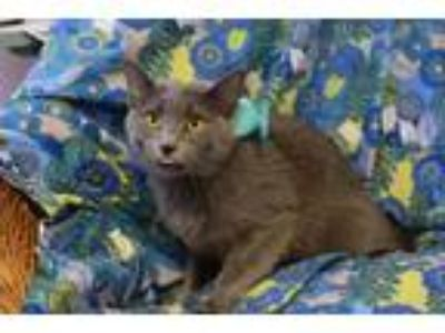 Adopt Lunis a Russian Blue, Domestic Short Hair