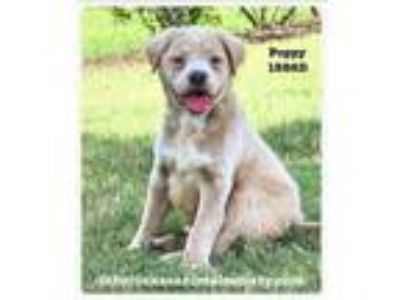 Adopt Poppy a Border Collie, Terrier