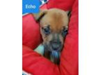 Adopt Echo a Red/Golden/Orange/Chestnut Boxer / Mixed dog in Mooresville