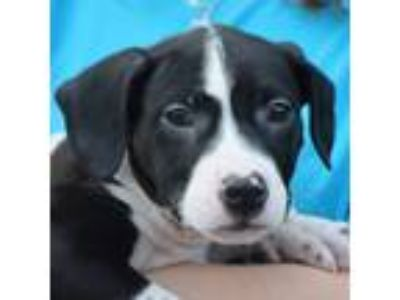 Adopt Max a American Staffordshire Terrier, Boxer