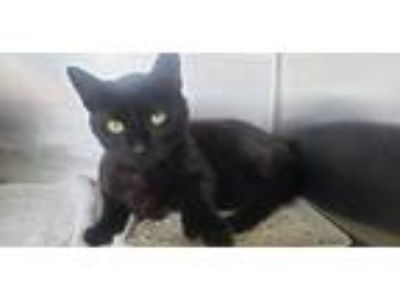 Adopt Kudo a All Black Domestic Shorthair / Mixed (short coat) cat in Lancaster