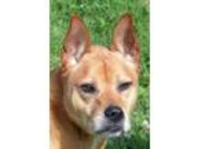 Adopt Scooby a Brown/Chocolate Labrador Retriever / Chow Chow / Mixed dog in