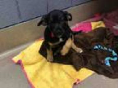 Adopt MARVIN a Hound, Boxer