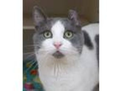 Adopt Jess a Gray or Blue (Mostly) Domestic Shorthair / Mixed (short coat) cat