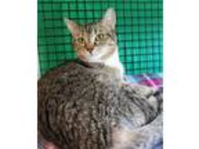 Adopt Butters a Domestic Short Hair