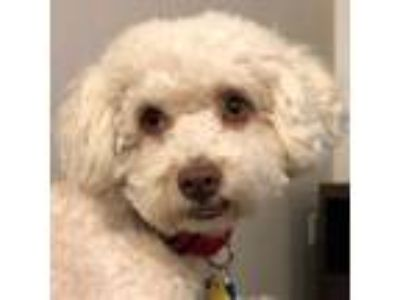 Adopt Yogi a White Bichon Frise / Mixed dog in La Costa, CA (25345814)