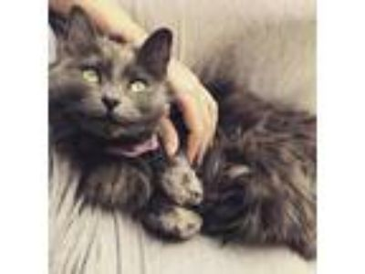 Adopt Mariah a Gray or Blue Domestic Longhair / Domestic Shorthair / Mixed cat