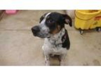 Adopt Waylon a White - with Black Pointer / Mixed dog in Plainfield