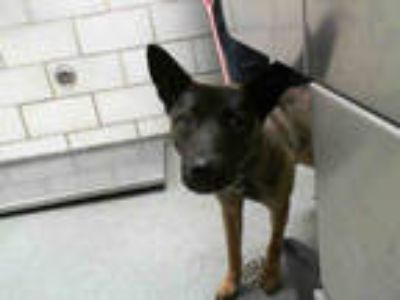 Adopt KING a Brown/Chocolate - with Black Belgian Malinois / Mixed dog in