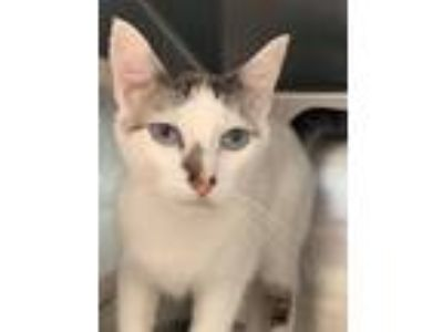 Adopt Marty a Domestic Short Hair